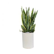 관엽식물-산세베리아-66